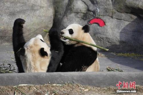"""资料图。当地时间2018年3月18日,两只大熊猫双胞胎""""加盼盼""""、""""加悦悦""""在多伦多动物园内打闹争食。当日是它们在多伦多与公众见面的最后一天。 中新社记者 余瑞冬 摄"""