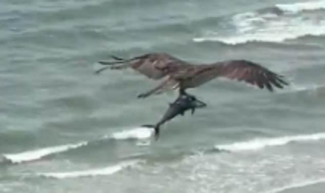 """活久见!美国海滩惊现""""老鹰抓鲨鱼"""",游客们抬头望天全傻眼"""